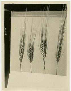 Fotografie 2 Weizenähren in der Mitte 2 Gersten