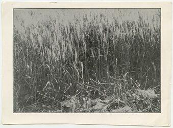 Fotografie [Weizen auf gutem Land (el-Bak