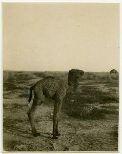 Fotografie bei Jericho [Kamele]