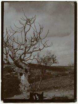 Fotografie im Kidrontal etwa dem Stephanstor gegenüber [Bäume]