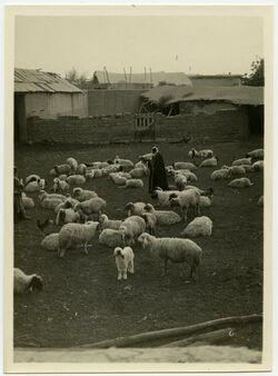 Fotografie Herde in Jericho [Herde]