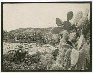 Fotografie lubie [Hecken mit Pfeigenkaktus, Kaktus]