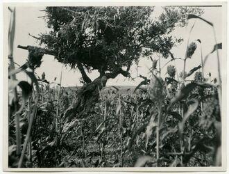 Fotografie [Wächterplatz auf dem Ölbaum im Kafferkornfelde (westliches Samarien)]