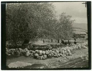 Fotografie Terebinthe Heil. [?] Baum in suf bei dscherasch [Gerasa]