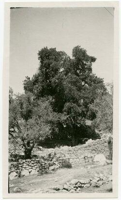 GDIp02721; Fotografie; Terebinthe am Fuss v. er-rumele Hebron, in Bestand von rund 5.000 nach Themen und Orten sortierten Kleinbildabzügen
