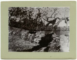 Fotografie Weinstöcke an d. Mauer Hebron