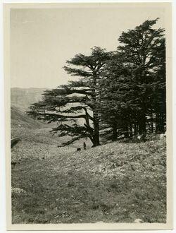 Fotografie Zedern auf Libanon