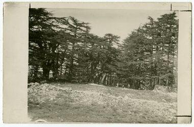 Fotografie Zedern auf Libanon, oberhalb Tripolis bei bschera [Postkarte]