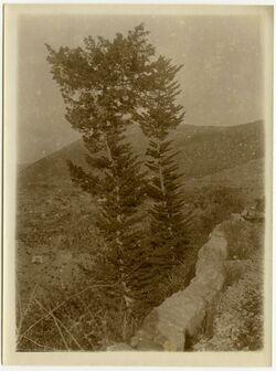 GDIp02949; Fotografie; 2 Zypressen von aramun bei el-ghazir Libanon, in Bestand von rund 5.000 nach Themen und Orten sortierten Kleinbildabzügen