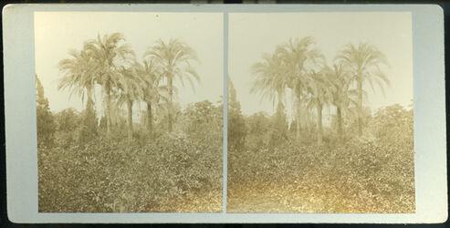 Stereofotografie Palm Trees & Orange Groves, Jaffa. [Jaffa, Palmenbäume und Orangenhain]