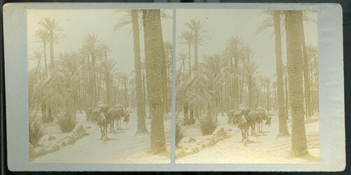 Stereofotografie Camels Passing through Palm Grove: Memphis. [Memphis, Kamele im Palmenhain]