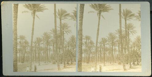 Stereofotografie Forest of Palms, Memphis. [Memphis, Palmenhain]