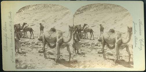 Stereofotografie Camel Suckling her Young. Chamelle allaitant son Petit. Junges Kamel. Milch saugend.