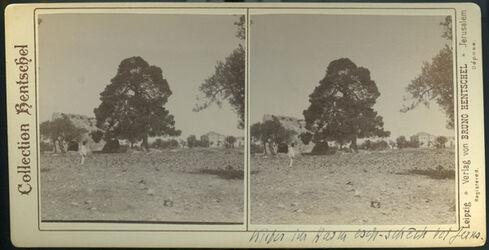 Stereofotografie Kiefer im Karm esch-schech bei Jerus. [Kiefer bei Jerusalem]