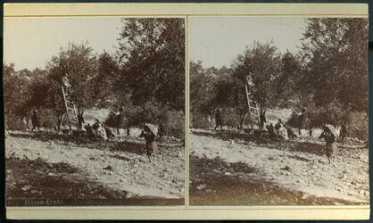 Stereofotografie Oliven-Ernte. (Palästina.)