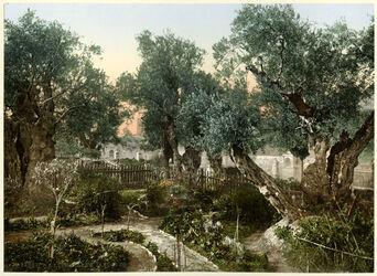 Photochrom Jérusalem. Jardin de Gethsemani. [Jerusalem, Garten Gethsemane]