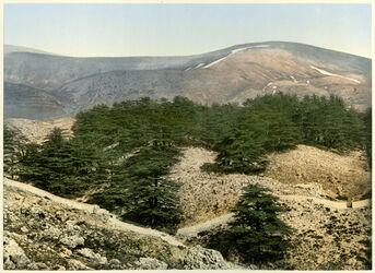 Photochrom Forrêt des cedres du Liban. [Libanon-Gebirge, Zedernwald]