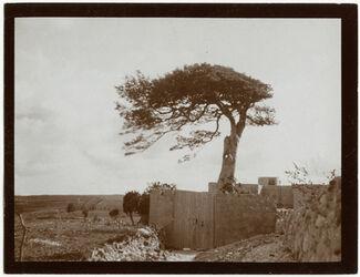 Fotografie Judasbaum a. d. Berg des bösen Rates [Jerusalem]