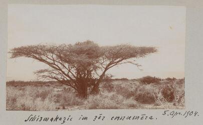 Fotoalbum Schirmakazie im gor ennumera. 5. April 1904.