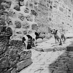 GDIs01264; Fotoalbum; Ein Eindringling in fremdes Revier. [Jerusalem], Album Gustaf Dalman, 1903-05, Blatt 30 Vorderseite (GDIs01258) unten rechts
