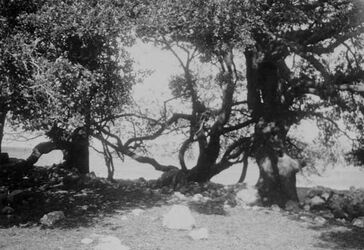 GDIs01626; Fotoalbum; Heiliger Hain von nebi limun bei bet iksa. Eichen, in der Mitte Terebinthe. Fusstour mit Baumann u. Sick nach Biddu u. el-karje., Album Gustaf Dalman, 1905-06, Blatt 23 Vorderseite (GDIs01624) oben Mitte