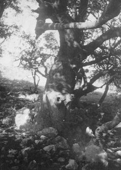 GDIs01627; Fotoalbum; Eiche im Hain von nebi limun., Album Gustaf Dalman, 1905-06, Blatt 23 Vorderseite (GDIs01624) oben rechts