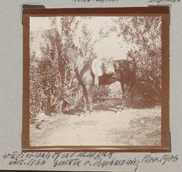 Fotoalbum wadi el wali südl. libb Pferd Matzuk [?] geritten v. Zepharowitz [?] Nov. 1906