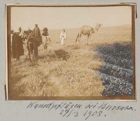 Fotoalbum Kamelpflügen bei Beersaba [Beersheba]. 29/3 1908.