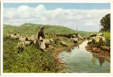 Postkarte Jerusalem. Hirte und Herde in der Nähe von Ledschun (Megiddo)