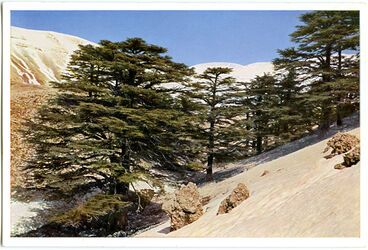Postkarte Die Zedern des Libanon