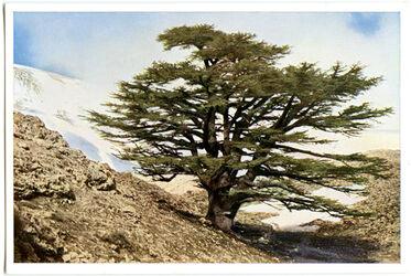 Postkarte Bcharré. Eine alten Zeder im Linbanon