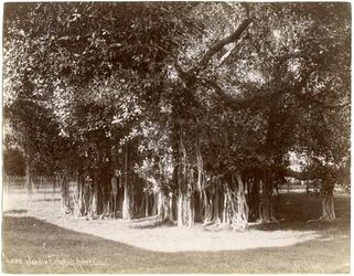 Fotografie Jardin Ezbekieh Arbre Géant [Kairo]