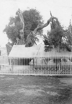 GDIs02011; Fotografie; [wohl Jerusalem, Garten Gethsemane], aus einem Bestand von rund 90 Papierabzügen (GDIs01982-GDIs2071)