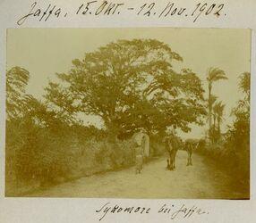 Fotografie Jaffa, 15. Okt.-12. Nov. 1902. Sykomore bei Jaffa.