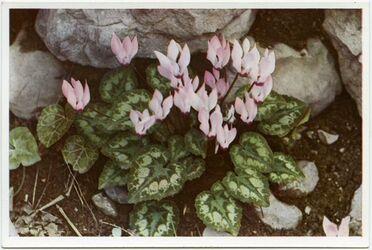 Postkarte Cyclamen. Fleurs de printemps. Spring Flowers. Frühlingsblumen
