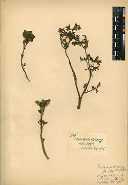 Portulaca oleracea, L. Portulacaceae