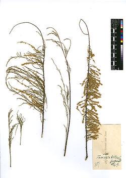 Tamarix tetragyna, EHRENB. Tamaricaceae