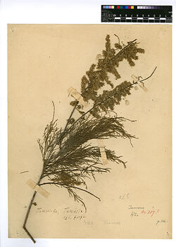 Tamarix jordanis, BOISS. Tamaricaceae