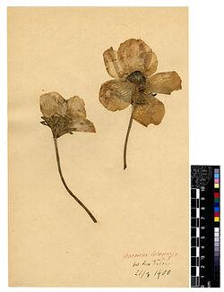 Anemone coronaria, L., v. typica, POST. Ranunculaceae