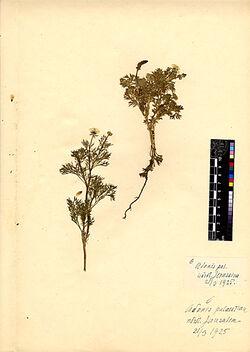 Adonis palaestina, BOISS. Ranunculaceae