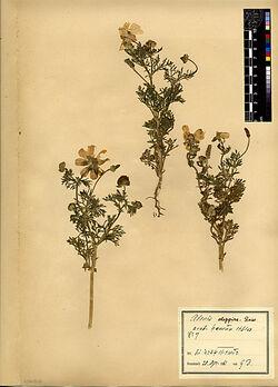 Adonis aleppica, BOISS. Ranunculaceae