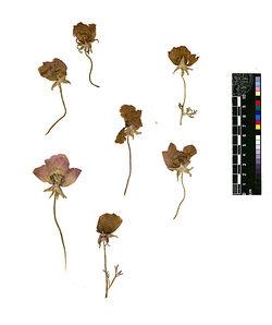 GDIh0034; Ranunculus asiaticus, L.; Ranunculus asiaticus