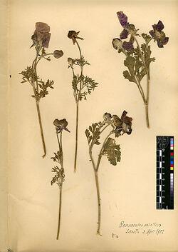 Ranunculus asiaticus, L. Ranunculaceae