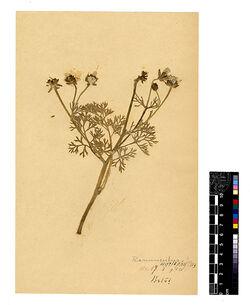 Ranunculus myriophyllus, RUSS. Ranunculaceae