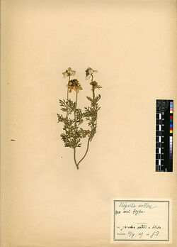 Nigella sativa, L. Ranunculaceae
