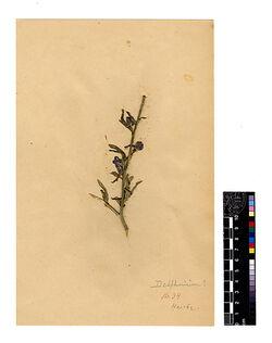 Delphinium rigidum, DC. Ranunculaceae