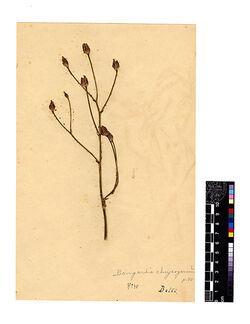 Bongardia Chrysogonum, (L.). Berberidaceae