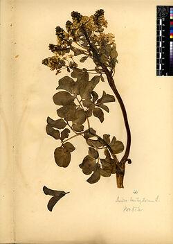 Leontice leontopetalum, L. Berberidaceae