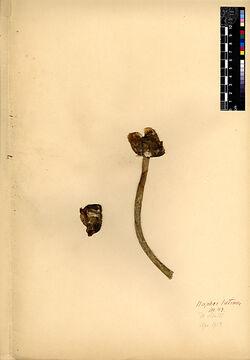 Nuphar luteum, (L.). Nymphaeaceae