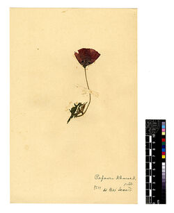 GDIh0058; Papaver Rhaeas, L.; Papaver Rhaeas L.